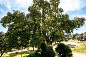Ruta de los árboles - Alcornoque de la Milagrosa