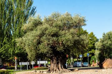 Ruta de los árboles - Olivo