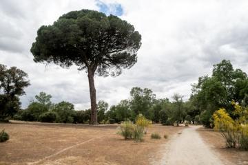 Ruta de los árboles - Pino